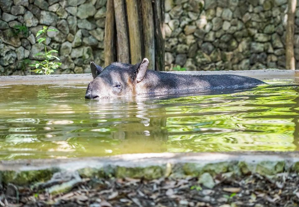 Тапир, или свинка с хоботом