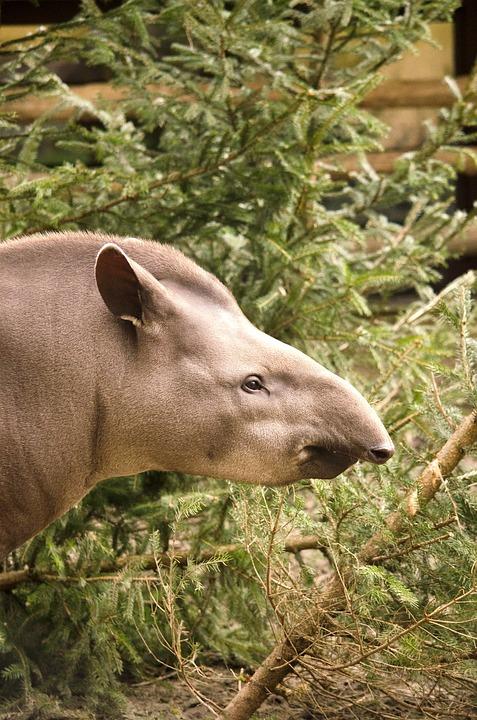 Тапир как домашний любимец