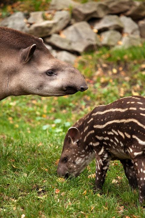Тпир, или свинка с хоботом. Размножение тапиров