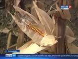 Урожай кукурузы и подсолнечника на Дону не оправдал надежд аграриев