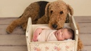 AIREDALE DOG BABYSITTING WITH LOVE Dog loves baby Compilation