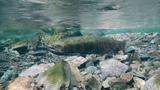 Самый теплолюбивый лосось успешно отнерестился в реках Земли леопарда