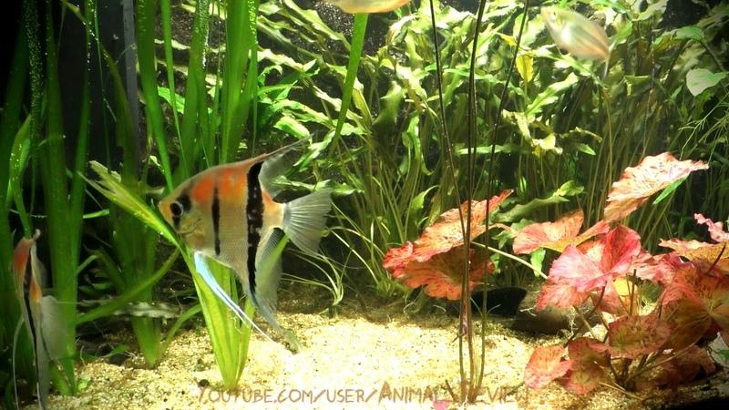 Freshwater Angelfish aka Scalar Fish