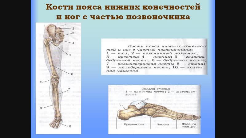 Лекция Ольги Мстиславовны Нижняя конечность Предпредпоследняя часть