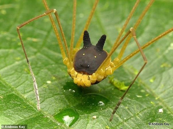 Древнего паука с волчьей головой показали в Сети Паук, обнаруженный в лесах Эквадора, появился на Земле около 400 миллионов лет назад еще до динозавров В тряпичном лесу Эквадора обнаружен