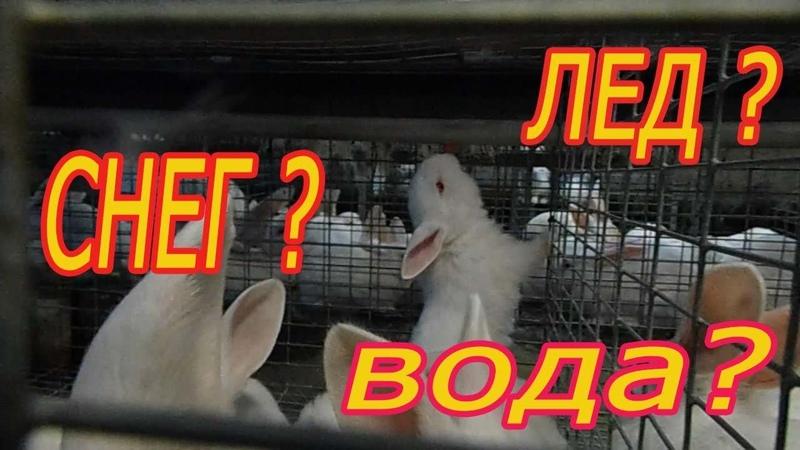 Поение кроликов зимой.