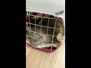 Котик Бенджамин с ампутированным хвостиком