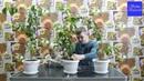 Как заставить цитрусовые цвести без прививки Показываем наши саженцы в катках