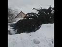 Топкинские чиновники срубившие елку у частника, после Нового года выбросили ее обратно на участок жи