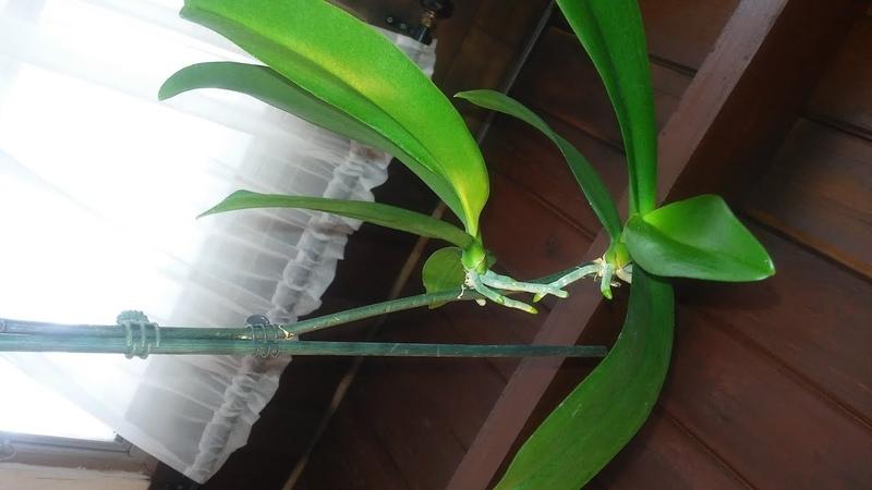 Trasplante de Keikis en orquideas phalaenopsis,Cuando los debo cortar