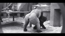 Powerful Gorila mating in zoo 2019