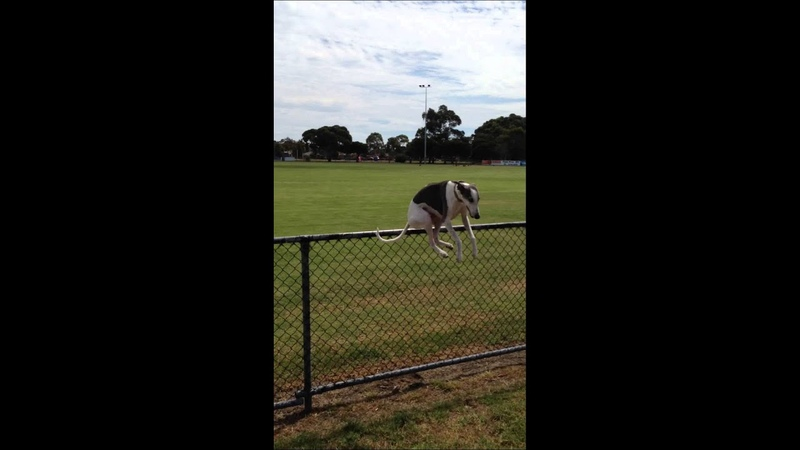 Whippet jumping fence