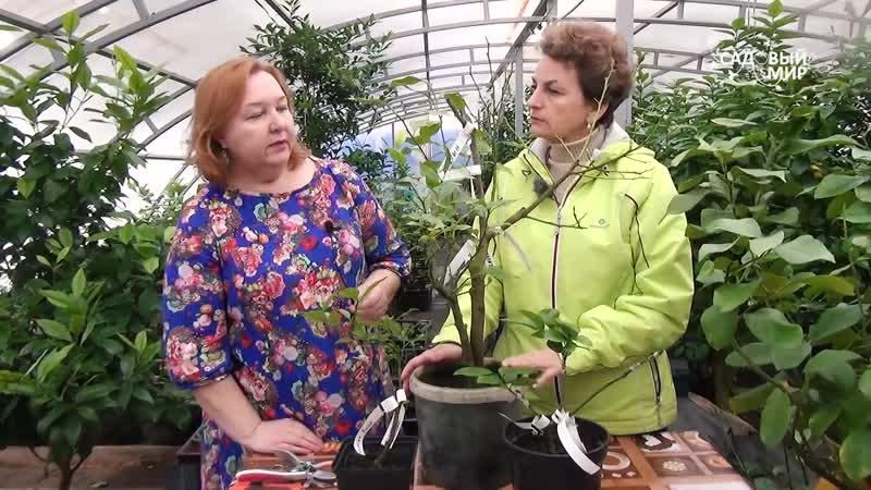 Дерево сад Прививка на комнатный лимон апельсина и клементина Часть 1