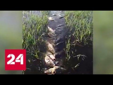 Двести сазанов в одних руках на рыбака вылили тонны ненависти - Россия 24