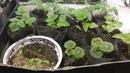 Пикирую комнатные томаты Как растет зеленый лук бегонии петунии