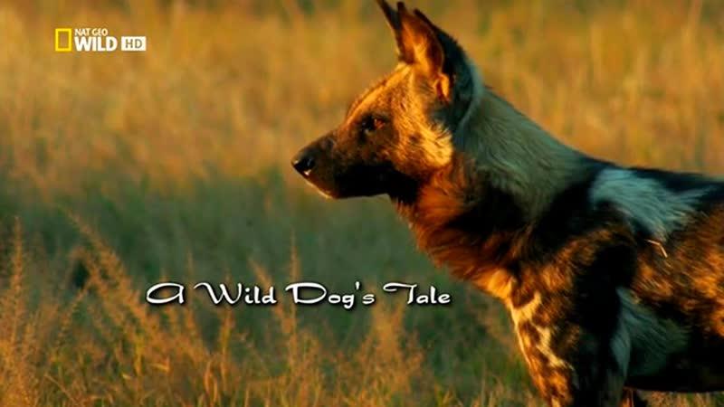 Nat Geo Wild: История одной гиеновой собаки (2012) /Avaros/