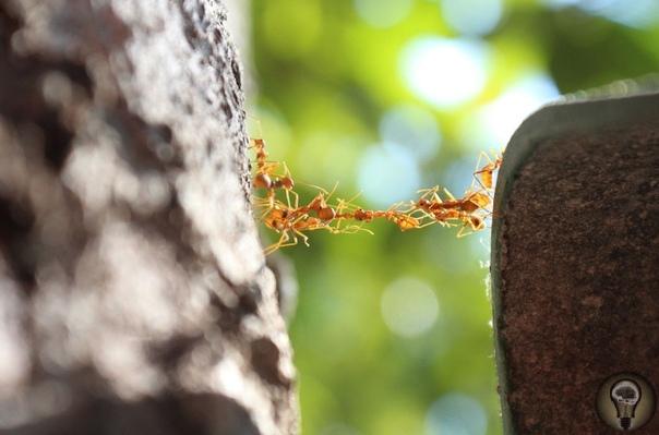 Фотоконкурс «Снимай науку». Ч.-3 1. Муравьи строят живой мост, чтобы пересечь глубокое ущелье 2. Хитозан растворим в угольной кислоте. Такой раствор обладает свойствами жидкого кристалла,