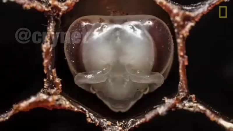 Три недели развития пчелы за минуту