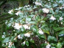 Osmanthus in my Garden