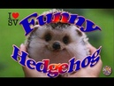 Cute And Funny Hedgehog Videos Compilation [SV Life]