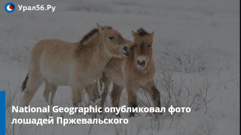 National Geographic опубликовал фото лошадей Пржевальского