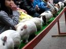 モルモット走る! その2 ~ 埼玉県こども動物自然公園 Run guinea pig - Saitama Children's Zoo - Saitama-ken, Japan