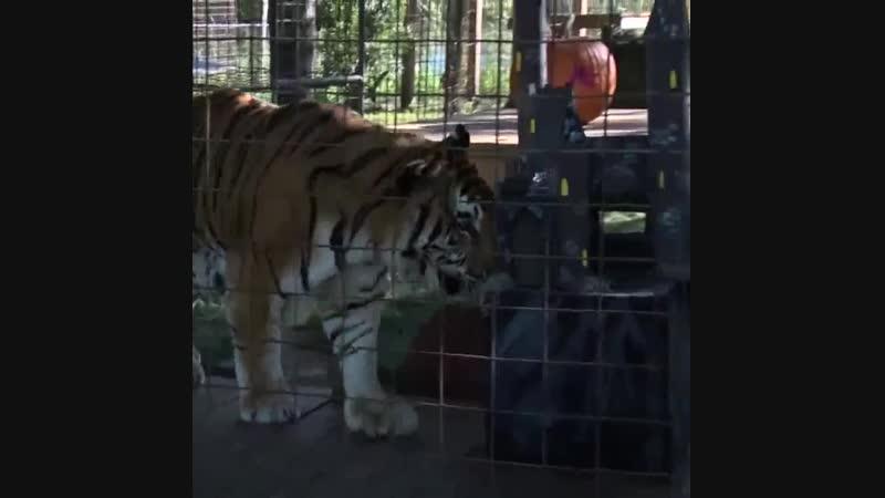 ВИДЕО | Тигров и ягуаров кормят тыквами в честь Хэллоуина