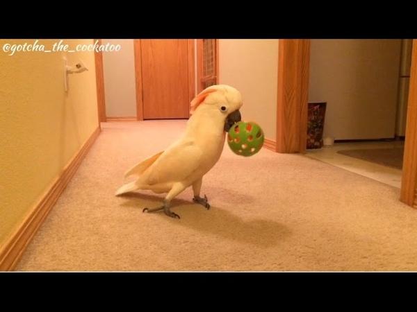 Gotcha LOVES his new ball 😄