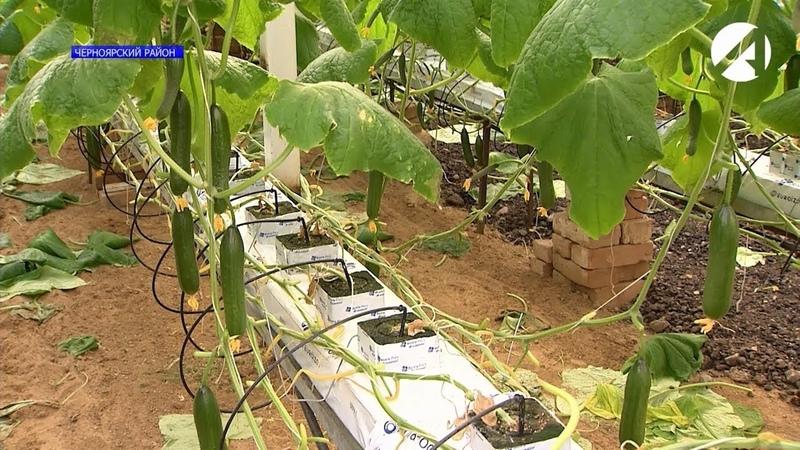 Астраханский фермер выращивает томаты и огурцы зимой по голландской технологии
