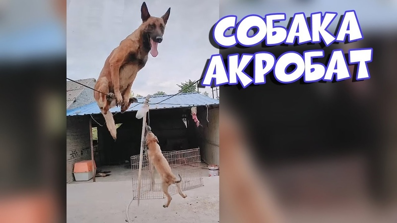 Собака акробат Подборка Приколов [BugagaTV]