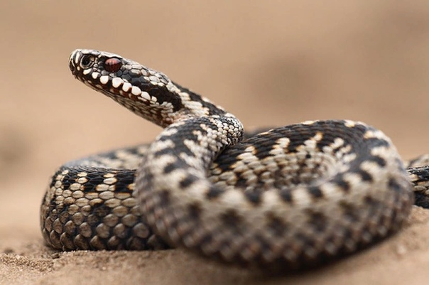 Чем отличается уж от гадюки основные отличия Змеи ужи и гадюки относятся к классу пресмыкающихся, имеют множество сходств, и различий во внешнем облике, привычках, среде обитания и эти два вида