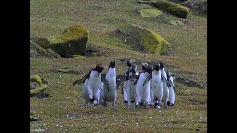 У меня было плохое настроение, но потом я увидел гифку, на которой толпа пингвинов гоняется за бабочкой