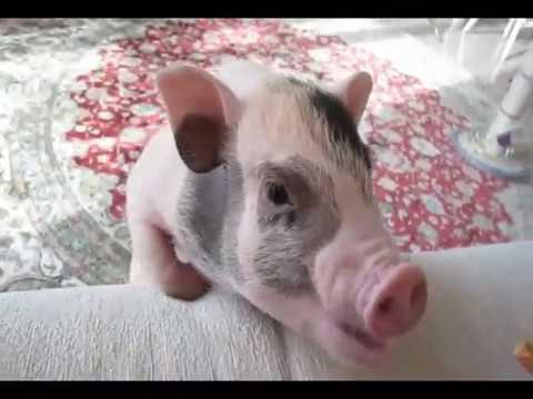 Свинка Зинка - символ 2019 года
