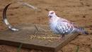 Easy Bird Trap How to make using Junior Hacksaw Blade
