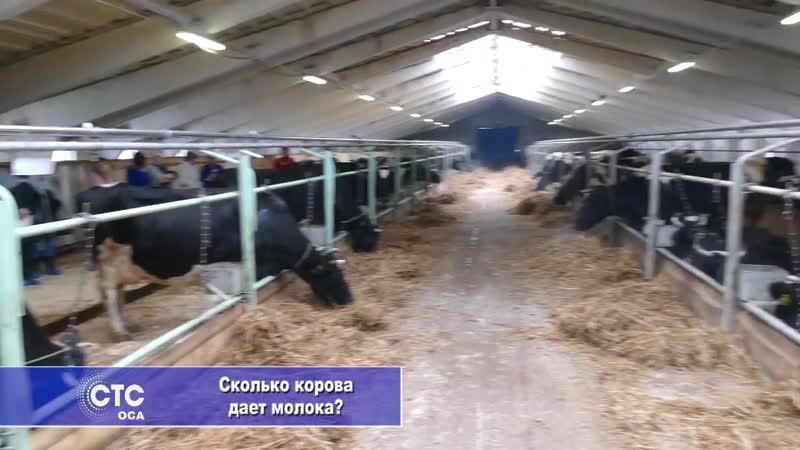 Сколько корова дает молока Молочное скотоводство в Осинском районе