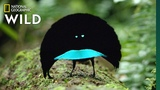 Rare Footage of New Bird of Paradise Species Shows Odd Courtship Dance Nat Geo Wild