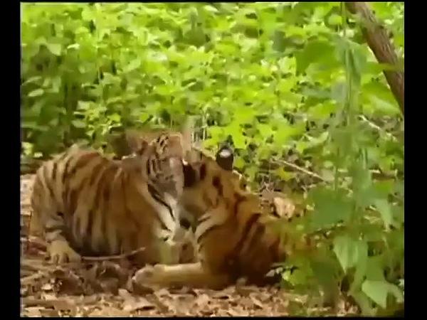 Обезьяна дергает тигра