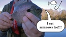 Fishing with Minnows