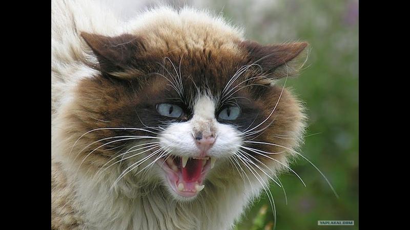 Пушистые кошки Породы кошек