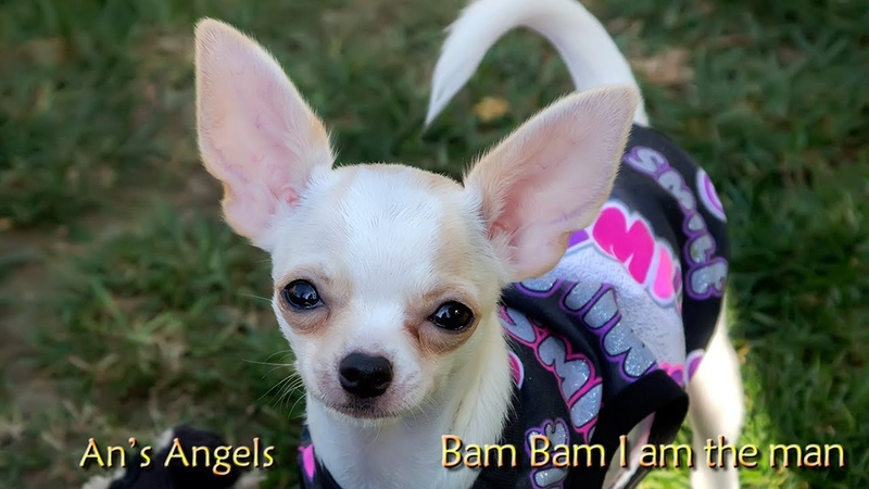 Chihuahua pup Bam bam I am the man - te koop
