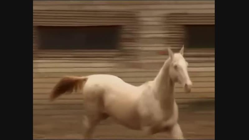 Небесные кони (Ахалтекинцы) 2010