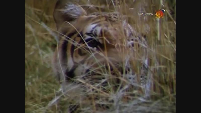 7 Повесть о павлине и тигре
