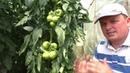 Формировка томатов что прищипнуть а что оставить Наглядно и обоснованно