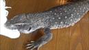 オオトカゲのデスロール Savannah Monitor Death Roll