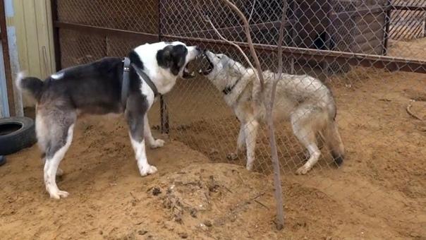Кто сильнее - волк или алабай Особенности и интересные факты - Человек опасается встречи с волком, и не зря. Это животное обладает ловкостью и отличным умом, а также способностью атаковать так,