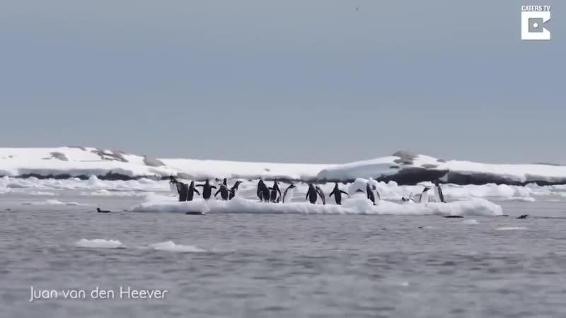Прыгай пока айсберг не уплыл или антарктические будни пингвинов