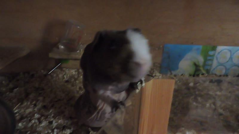 Барышня хочет кушать. Морские свинки скинни
