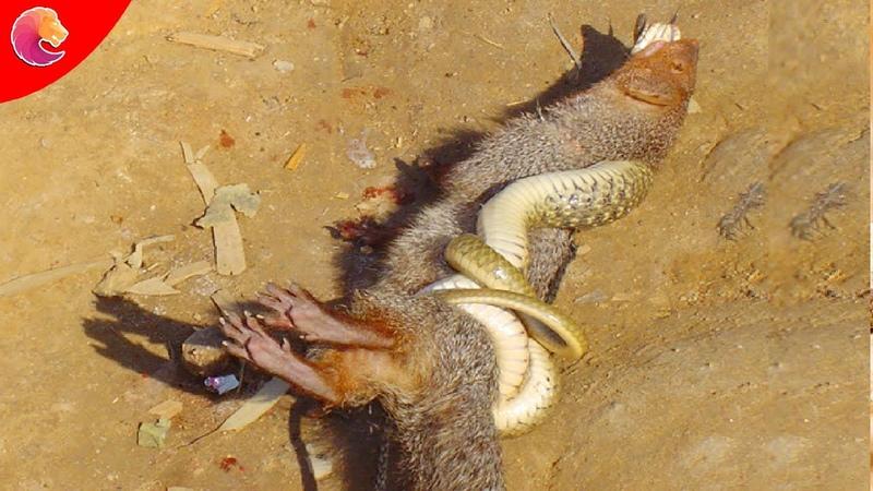 Cầy Mangut nỗi khiếp sợ tột cùng của Rắn Hổ Mang