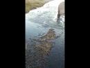 Сахалин..Горбуша идёт из моря в реку на нерест..... Какое рвение!