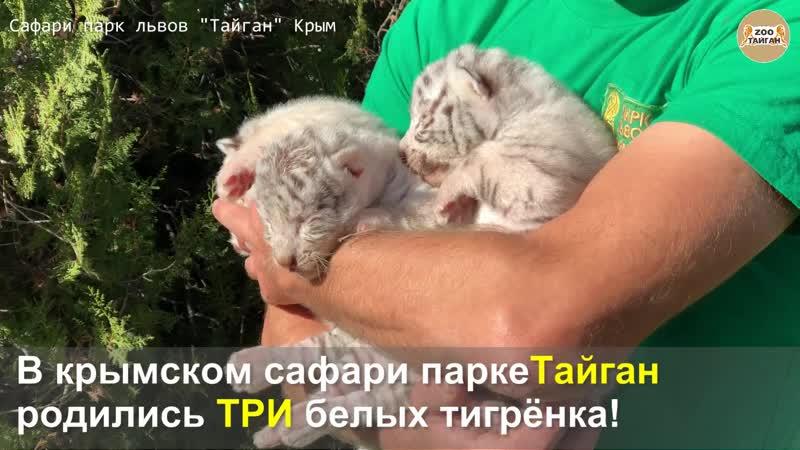 Новорожденные белые тигрята из Тайгана.